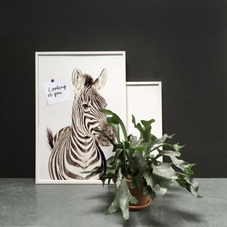 Zebra_poster_GrovvyMagnets